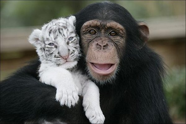 Chimp and baby white tiger
